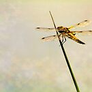 Four-Spotted Chaser by HelenBeresford