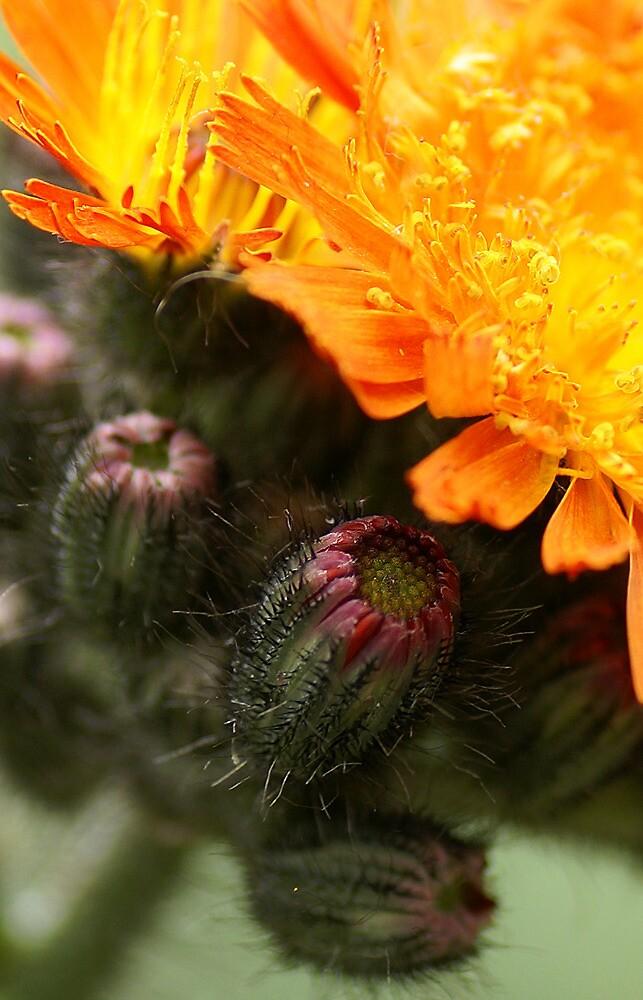 Orange Hawkweed by walstraasart