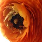 Orange ranunculus flower 1 by Ebony Hack