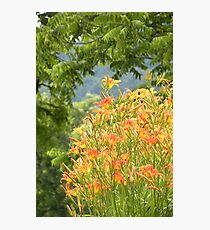 Country Lily Photographic Print
