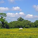 White horse among the buttercups in a Hampshire summer meadow, southern England. by Philip Mitchell