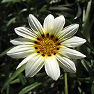 Chrysanthemum by Oliver Parish