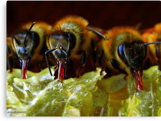 Api, che immettono il miele nelle cellette - missano  ( zocca modena italy).... 050 by primo masotti