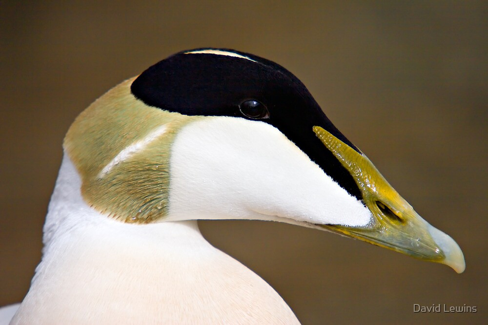 Male Eider Duck Portrait - Somateria mollissima by David Lewins