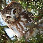 Curious Little Owl / Northern Sawhet Owl by Gary Fairhead