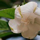 gardenia bud opening by Phillip M. Burrow