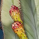 Double Cactus Blooms by Terry Runion