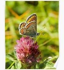 Brown Argus Butterfly Poster
