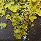 Lichen 5 by shiro