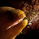 Golden Spotted Moray Eel by Paul Lenharr II