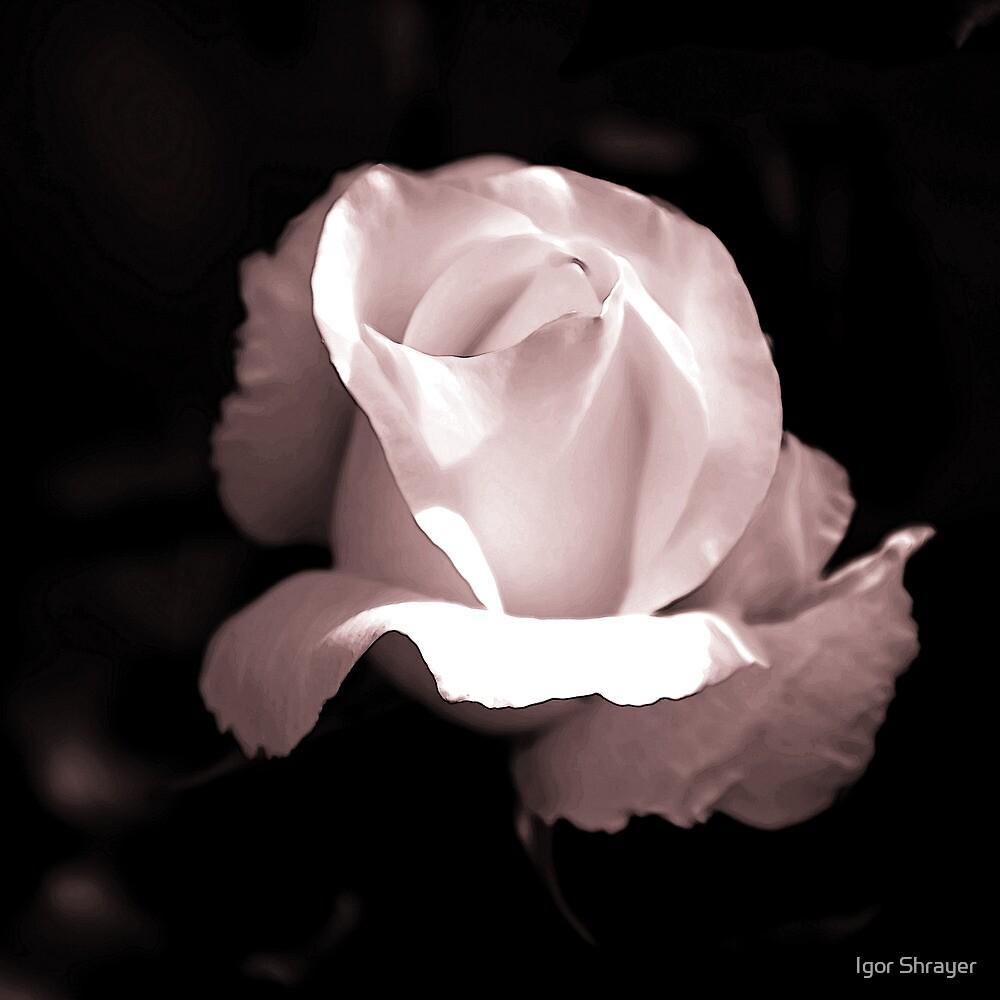 Pink Rose I by Igor Shrayer