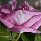 The Pink Rose by Sandra Cockayne