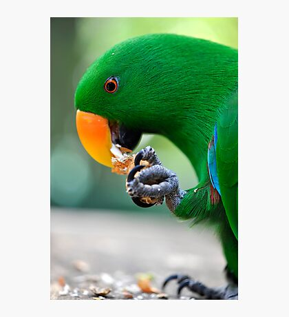 Have a bite - Eclectus parrot Photographic Print