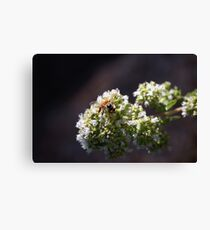 Bee On Oregano Canvas Print