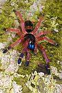 Blue Fang Tarantula Spiderling by Kawka
