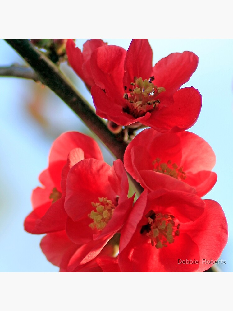 Quince by Onlydebster