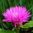 Pink Petals by Eugenio