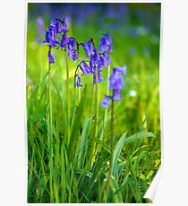 Bluebells Close up Poster