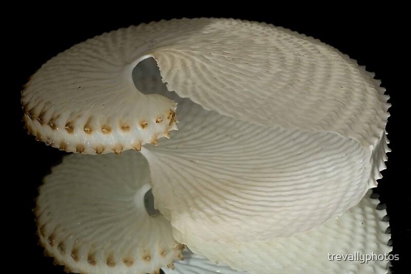 Paper Nautilus Shell w...