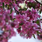 Spring Blossoms by CSRoth