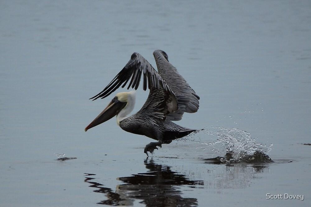 Pelican Takeoff by Scott Dovey