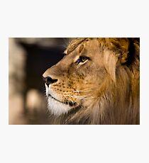 Lion - Adelaide Zoo Photographic Print