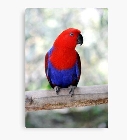 Sitting Pretty - Eclectus parrot Canvas Print