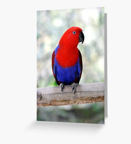 Sitting Pretty - Eclectus parrot Greeting Card