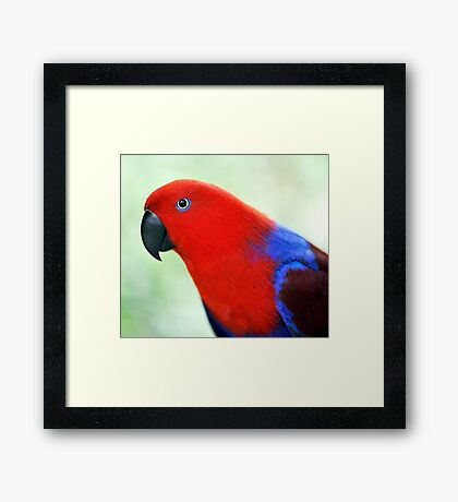 Simply Red - Eclectus parrot Framed Print