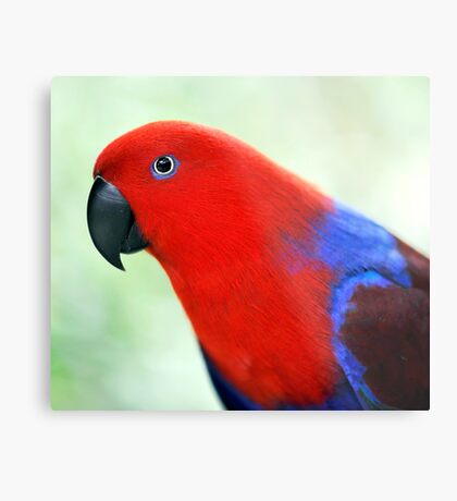 Simply Red - Eclectus parrot Metal Print