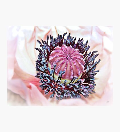 Poppy Pollen Pockets Photographic Print