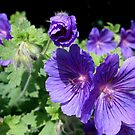 Blue Geraniums by hjaynefoster