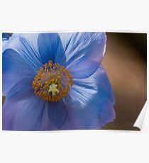 Blue Poppy, Meconopsis 'Jimmy Bayne' Poster