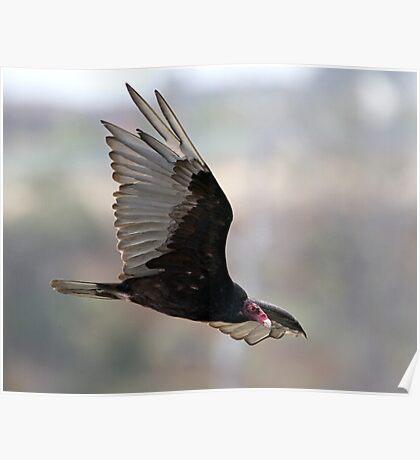 Turkey Vulture In flight Poster