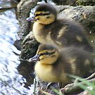 sweet little siblings - mallard ducklings by monkeyferret