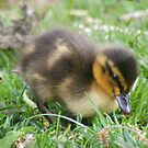 out to explore - mallard duckling by monkeyferret