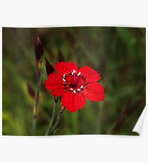 Dianthus Poster