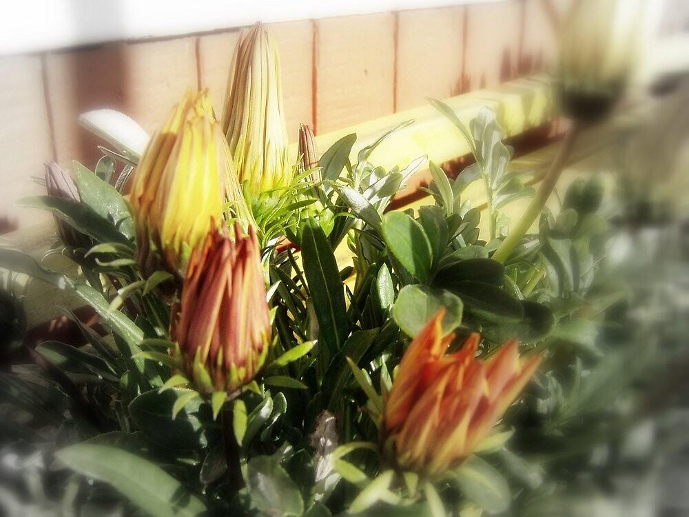 closed yellow and orange blossoms 3 by Dawna Morton