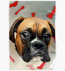 Nicht glücklich - Boxer Dog Series Poster
