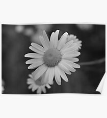 Daisy In Black and White Poster