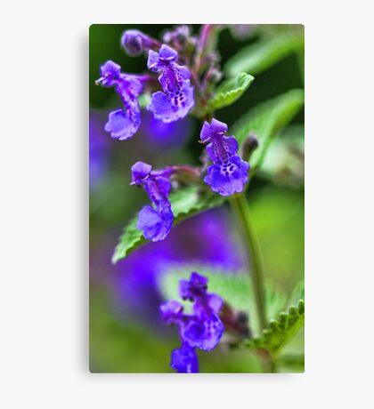 Lavender Catmint Canvas Print