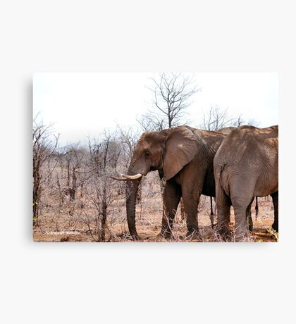 THE AFRICAN ELEPHANT – Loxodonta Africana - IN PROFILE, REAR AND FRONT! Canvas Print