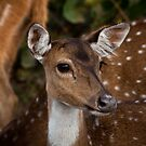 Deer- Bandipur by Ahiraj Bhat