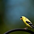 Goldfinch by TeresaB