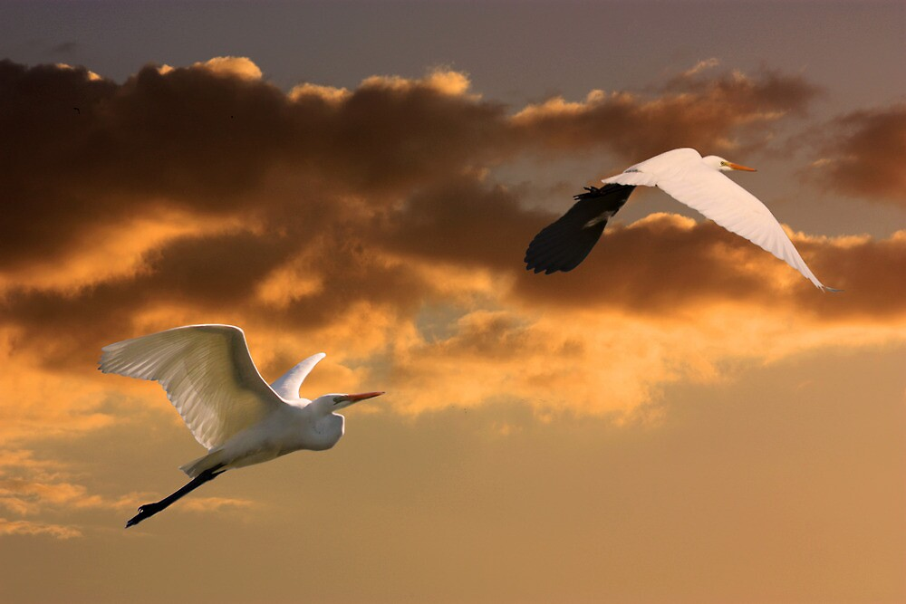 Setting Sun Egrets by byronbackyard