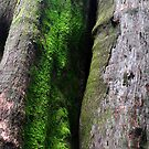 Mt Wilson NSW - Giant Tree in the Cathedral of Ferns  by Bev Woodman