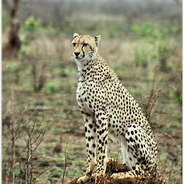 A MOMENT IN TIME - THE CHEETAH - Acinonyx jabatus by mags