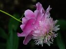Exposed (Peony) by Aaron Campbell