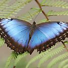 Blue Morpho Butterfly by Lindie Allen