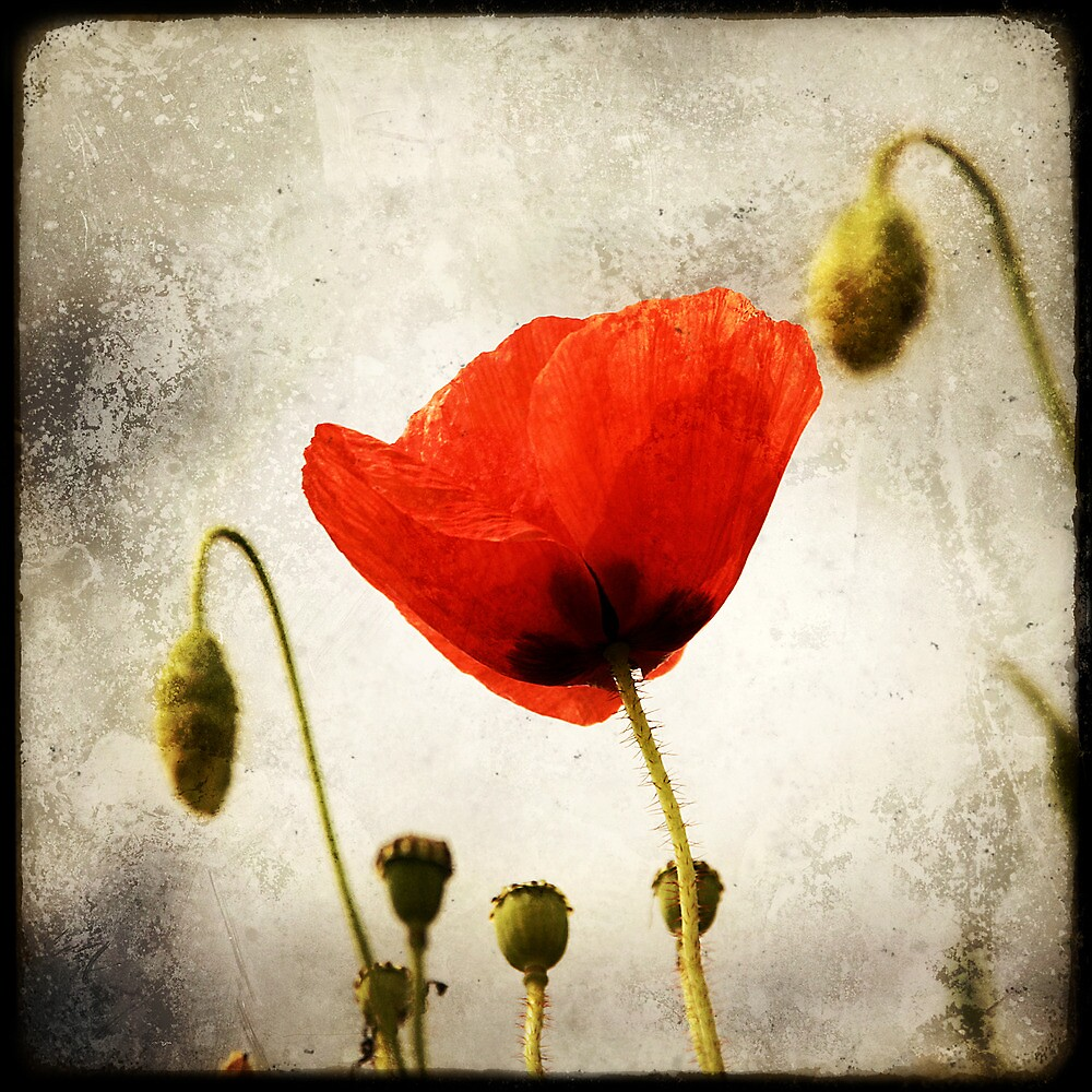 Red poppy by Marc Loret